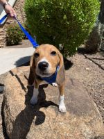 Beagle Puppies for sale in Phoenix, AZ 85027, USA. price: NA