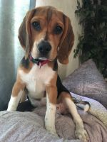 Beagle Puppies for sale in Gardiner, NY, USA. price: NA