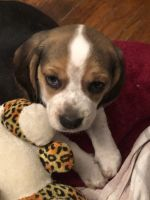 Beagle Puppies for sale in Lynn, MA, USA. price: NA