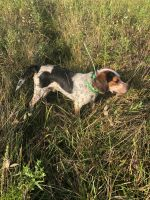 Beagle Puppies for sale in Sterling Heights, MI, USA. price: NA