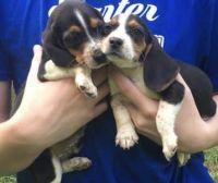 Beagle Puppies for sale in Dalton, GA, USA. price: NA