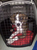 Beagle Puppies for sale in 168 Chapel St, Clarksville, TN 37042, USA. price: NA