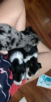 Beagle Puppies for sale in Harrodsburg, KY 40330, USA. price: NA