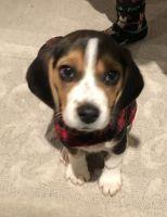 Beagle Puppies for sale in Danville, CA, USA. price: NA