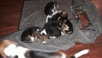 Beagle Puppies for sale in Camden, NY 13316, USA. price: NA