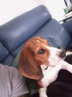 Beagle Puppies for sale in Manor, TX 78653, USA. price: NA
