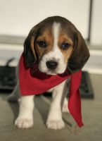 Beagle Puppies for sale in Quincy, IL, USA. price: NA