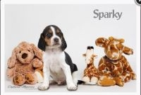 Beagle Puppies for sale in Clare, MI 48617, USA. price: NA