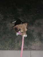Beagle Puppies for sale in El Paso, TX, USA. price: NA