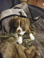 Beagle Puppies for sale in Pendleton, SC 29670, USA. price: NA