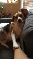 Beagle Puppies for sale in 2935 Fremont Ave S, Minneapolis, MN 55408, USA. price: NA