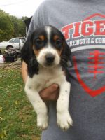Beagle Puppies for sale in Patoka, IN 47666, USA. price: NA