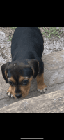 Beagle Puppies for sale in Shallotte, NC 28470, USA. price: NA