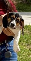Beagle Puppies for sale in 14811 Beatty Dr, Humble, TX 77396, USA. price: NA
