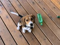 Beagle Puppies for sale in Portland, OR, USA. price: NA
