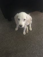 Beagle Puppies for sale in 2242 Aster Rd, Bethlehem, PA 18018, USA. price: NA