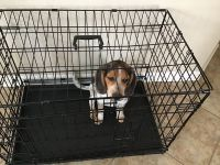 Beagle Puppies for sale in Tampa, FL, USA. price: NA