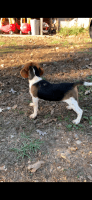 Beagle Puppies for sale in Fayetteville, NC 28314, USA. price: NA
