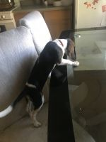 Beagle Puppies for sale in St. Louis, MO, USA. price: NA