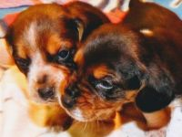 Beagle Puppies for sale in 2948 S Cross St, Manilla, IN 46150, USA. price: NA
