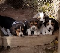 Beagle Puppies for sale in Pataskala, OH, USA. price: NA