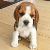 Beagle Puppies for sale in Alabama City, Gadsden, AL 35904, USA. price: NA