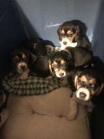 Beagle Puppies for sale in Decatur, AL, USA. price: NA