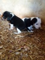 Beagle Puppies for sale in Williamstown, KY, USA. price: NA