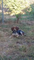 Beagle Puppies for sale in Louisville, KY, USA. price: NA