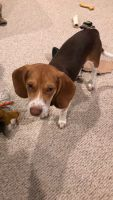 Beagle Puppies for sale in East Butler, PA, USA. price: NA