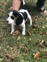 Beagle Puppies for sale in Williamstown, Monroe Township, NJ 08094, USA. price: NA