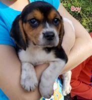 Beagle Puppies for sale in Escondido, CA 92026, USA. price: NA