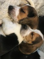 Beagle Puppies for sale in Austin, IN 47102, USA. price: NA