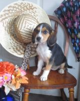 Beagle Puppies for sale in Reading, PA, USA. price: NA