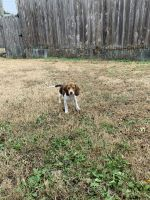 Beagle Puppies for sale in Forney, TX 75126, USA. price: NA