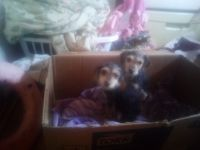 Beagle Puppies for sale in Venus, TX, USA. price: NA
