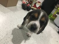 Beagle Puppies for sale in Mission, TX, USA. price: NA