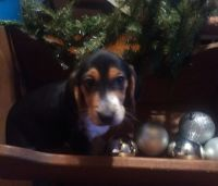 Beagle Puppies for sale in Shade Gap, PA, USA. price: NA