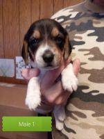 Beagle Puppies for sale in La Farge, WI 54639, USA. price: NA