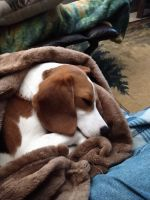 Beagle Puppies for sale in Becker, MN, USA. price: NA