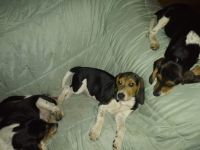 Beagle Puppies for sale in Candler, NC 28715, USA. price: NA