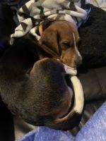 Beagle Puppies for sale in Virginia Beach, VA 23456, USA. price: NA