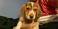 Beagle Puppies for sale in Imperial, PA 15126, USA. price: NA