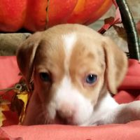 Beagle Puppies for sale in Los Molinos, CA 96055, USA. price: NA