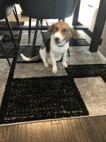 Beagle Puppies for sale in Dallas-Fort Worth Metropolitan Area, TX, USA. price: NA