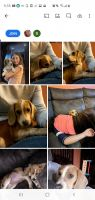 Beagle Puppies for sale in Boyertown, PA 19512, USA. price: NA