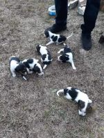 Beagle Puppies for sale in Jacksonville, FL, USA. price: NA