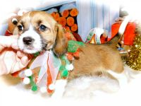 Beagle Puppies for sale in Hammond, IN, USA. price: NA