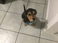 Beagle Puppies for sale in 8306 Beechnut St, Houston, TX 77036, USA. price: NA