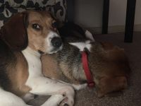 Beagle Puppies for sale in Portsmouth, VA, USA. price: NA
